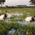 Casal de tuiuiú, a ave símbolo do Pantanal.