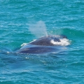 Como é observar baleias em Cumuruxatiba