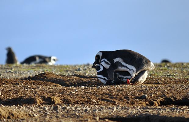 Punta Arenas: o passeio na Isla Magdalena