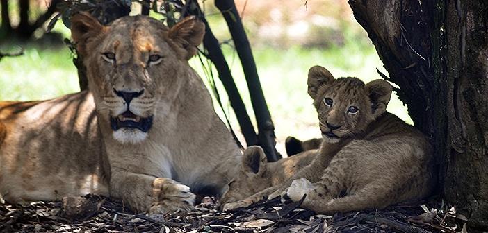 visitar o Lion Park