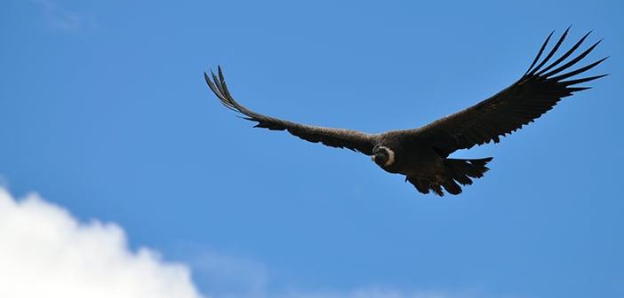 O Cânion do Colca e o majestoso voo do condor