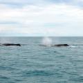 baleias-em-abrolhos-09