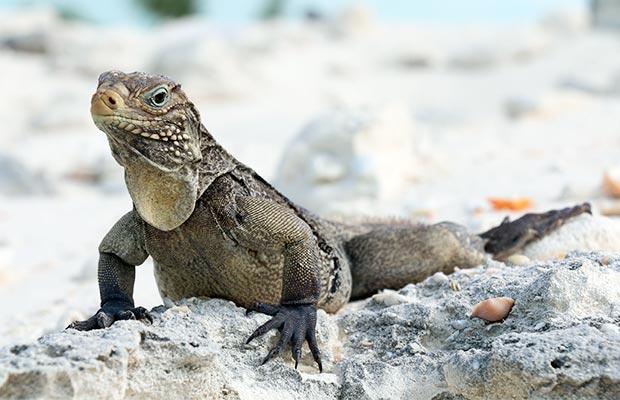 A Ilha das Iguanas em Cayo Largo