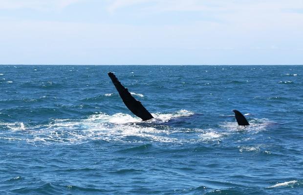 Observação de baleias em Vitória, Espírito Santo