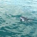 Mergulho com tubarão-branco em Cape Town
