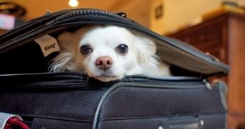 Dicas para viajar com animal de estimação