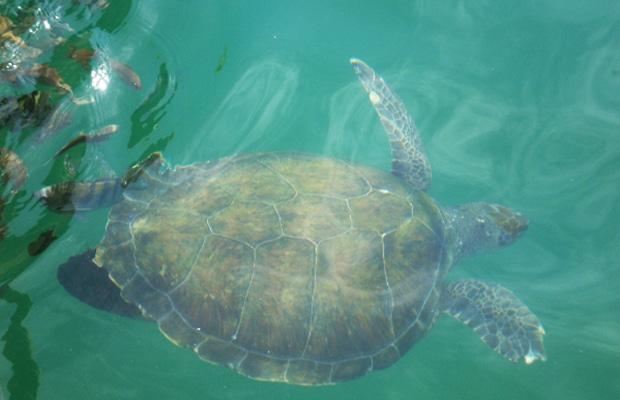 Quando ir a Arraial do Cabo: Tartaruga