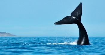 Começa a temporada de baleias no Brasil