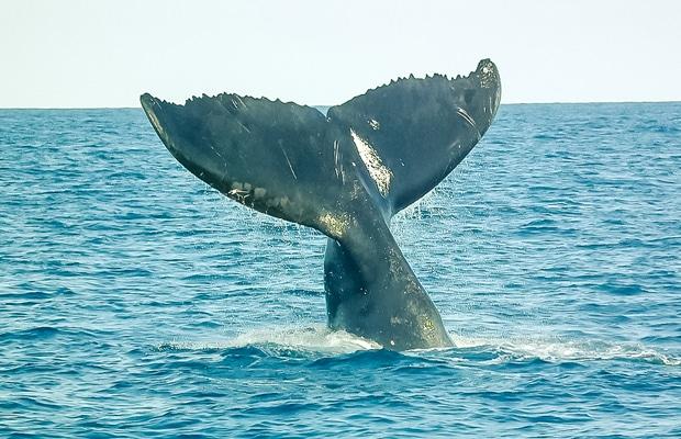 Baleias jubartes